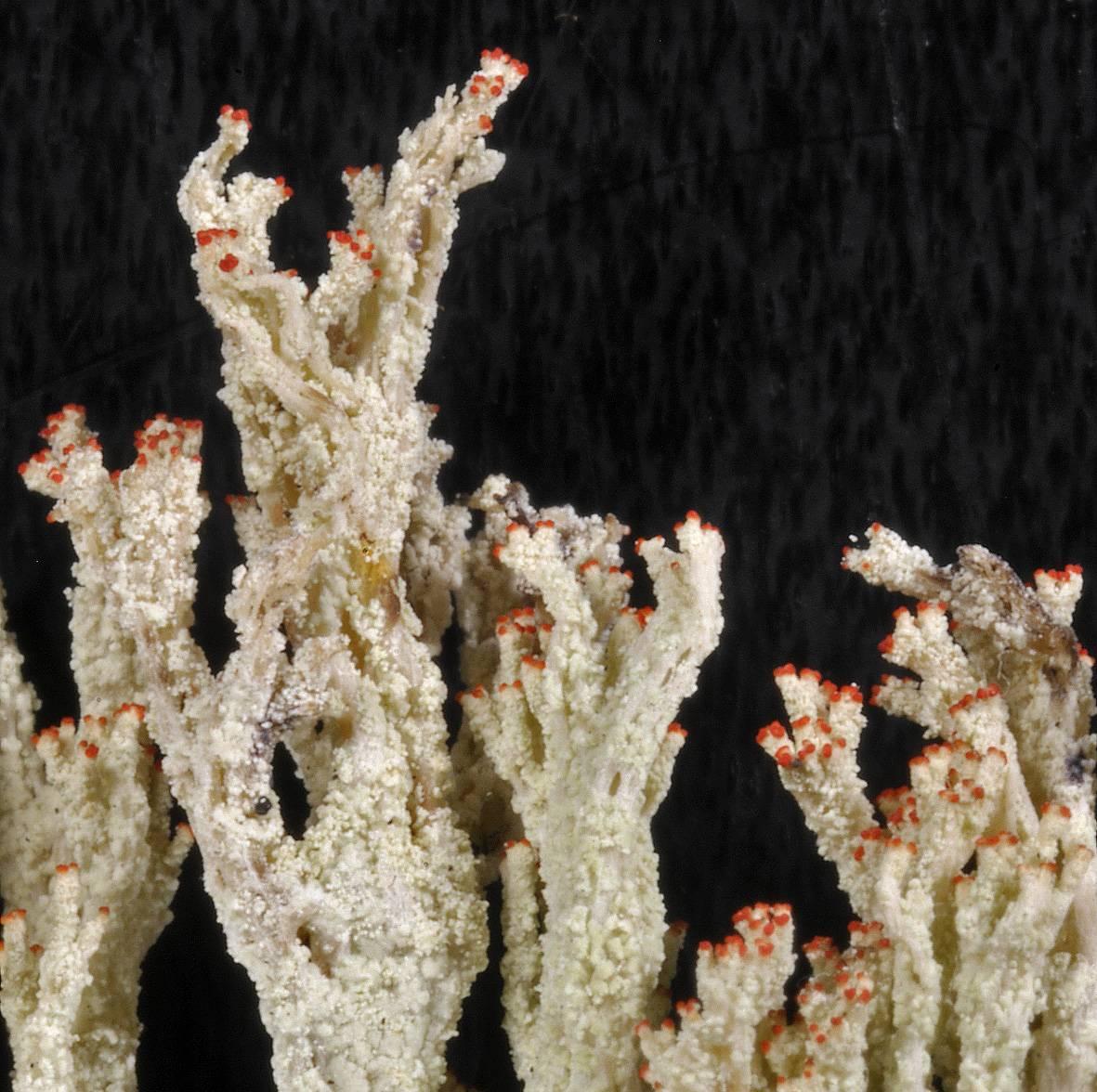 Cladonia bungartzii