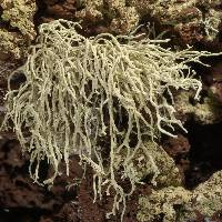 Image of Ramalina fragilis