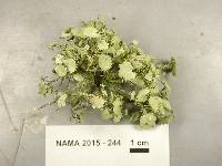 Image of Usnea rigida
