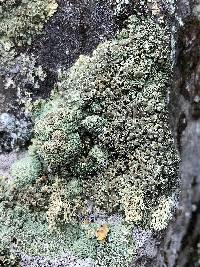 Image of Lecanora opiniconensis