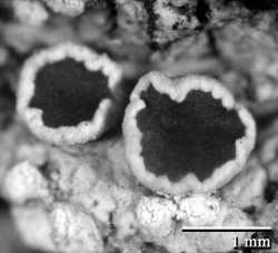 Image of Lecanora impudens