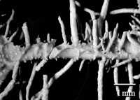 Image of Usnea horrida