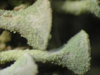 Image of Cladonia subsquamosa
