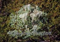 Image of Cladonia