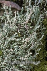 Image of Cladonia beaumontii