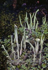 Image of Cladonia coniocraea