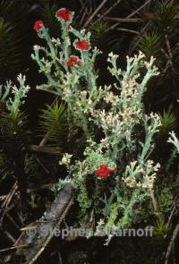Image of Cladonia cristatella