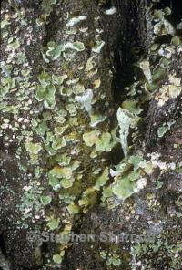 Image of Cladonia digitata