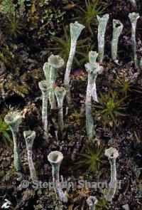 Image of Cladonia fimbriata