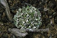Image of Cladonia firma