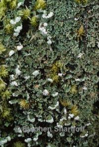 Image of Cladonia incrassata