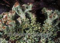 Image of Cladonia sobolescens