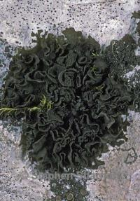 Image of Collema undulatum