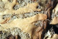 Image of Heterodermia barbifera