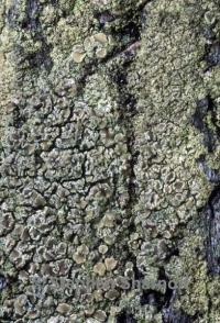 Image of Lecanora conizaeoides
