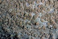 Image of Lecanora louisianae