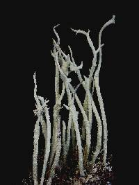 Image of Cladonia cyanipes
