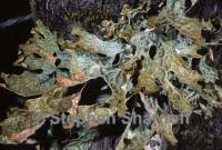 Image of Lobaria pulmonaria