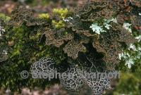 Image of Lobaria anthraspis