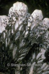 Image of Peltigera rufescens