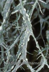Image of Ramalina farinacea