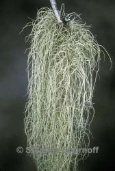Image of Usnea filipendula