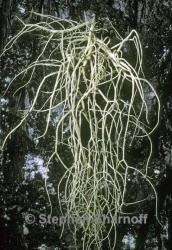 Image of Usnea fragilescens