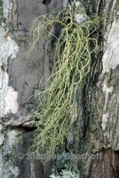 Image of Usnea subscabrosa