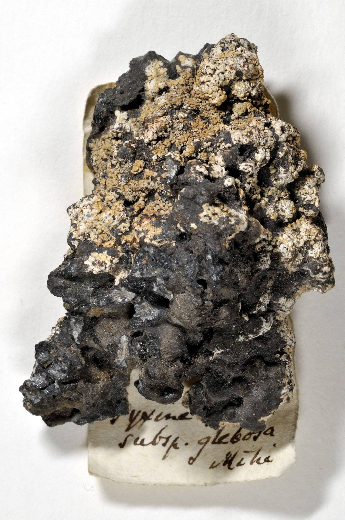 Pyxine glebosa image